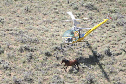 photo os rachers using a helicopter to her wid horses